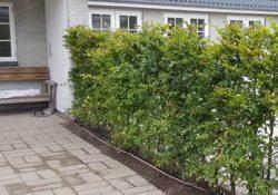 Bøgehække - et prima alternativ til stedsegrønne hække